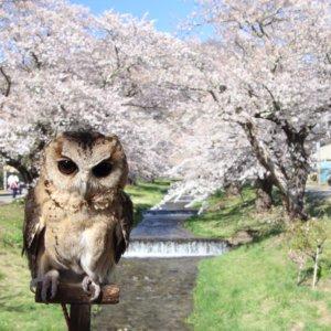猪苗代町 観音寺川の桜